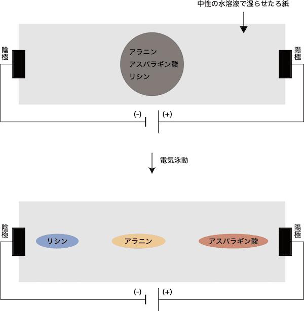 アミノ酸】等電点とは?求め方やpHとの関係・計算問題の解き方など ...